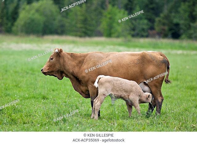 Calf nursing from mother cow. Near Riverton, Manitoba, Canada