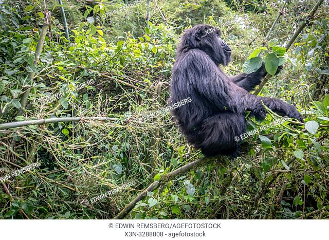 A Mountain Gorilla (Gorilla beringei beringei) of the Muhoza group, climbs atop a bamboo chute to eat leaves, in Volcanoes National Park