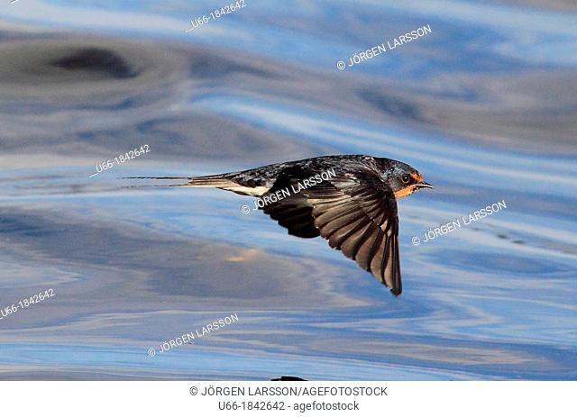 Barn Swallow Hirundo rustica Sweden