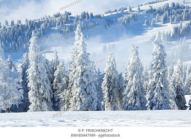 snow-capped spruce forest, Switzerland