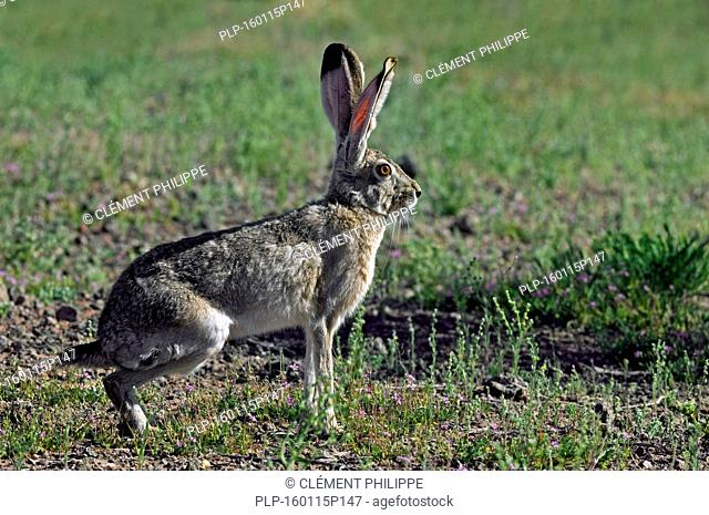 Black-tailed jackrabbit / American desert hare (Lepus californicus), native to western United States and Mexico