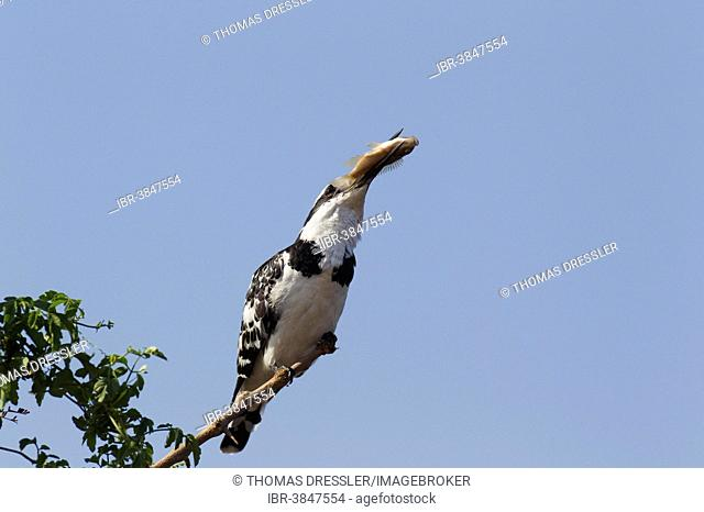 Pied Kingfisher (Ceryle rudis), female has caught a fish, Sunset Dam, Kruger National Park, South Africa