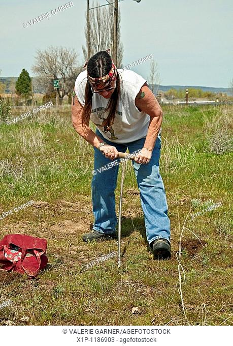 This mature Native American Indian woman with long hair and a headband is digging camas sweet potatoes manually with a stick in a Native American traditional...