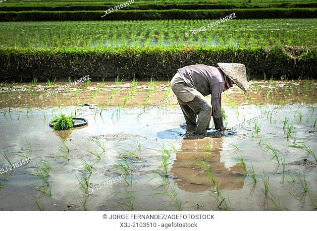 Woman planting rice in the fields of Bali, Indonesia, Asia