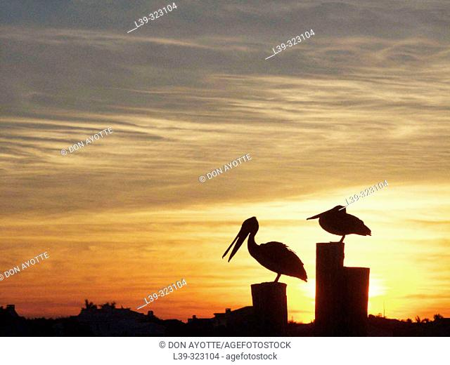 Sunrise with pelican in St. Pete Beach. Florida, USA