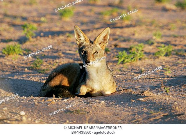 Black-backed jackal (Canis mesomelas), South Africa
