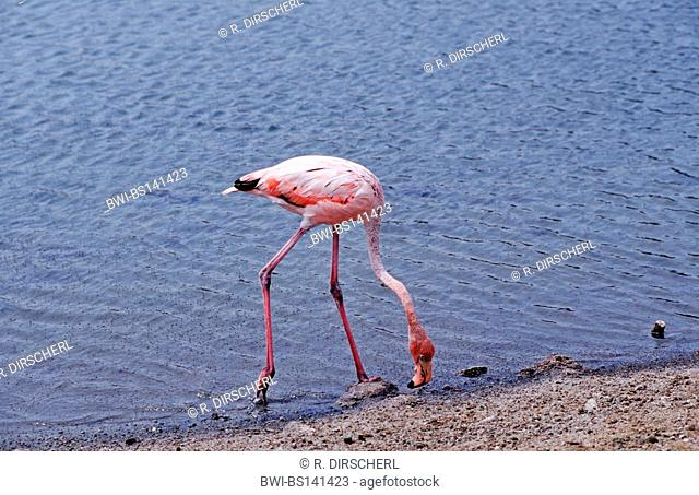 Greater flamingo, American flamingo, Caribbean Flamingo (Phoenicopterus ruber ruber), on the feed, Netherlands Antilles, Bonaire, Caribbean Sea