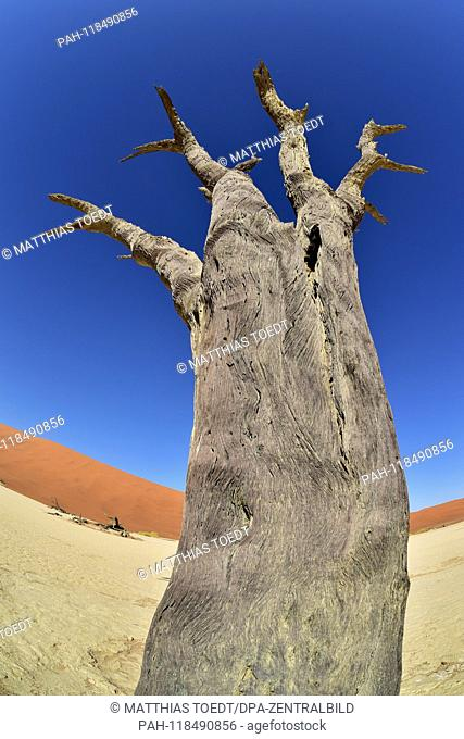 Dead trunk of an acacia tree in Dead Vlei, taken on 01.03.2019. The Dead Vlei is a dry, surrounded by tall dune clay pan with numerous dead acacia trees in the...
