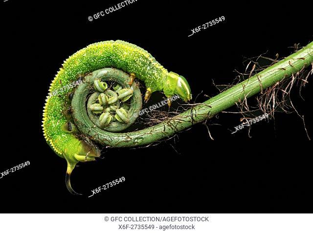 Caterpillar of neotropical Hawk moth (Xylophanes chiron), (Spingidae family), Amazon rainforest, Copalinga, Zamora province, Ecuador