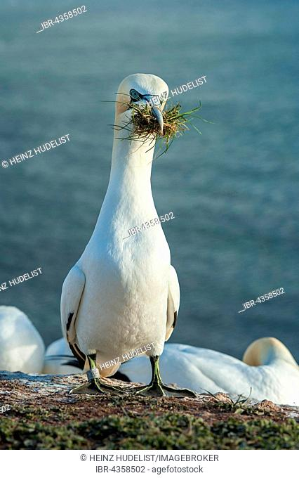 Northern Gannet (Morus bassanus) with nesting material in its beak, Heligoland, Schleswig-Holstein, Germany