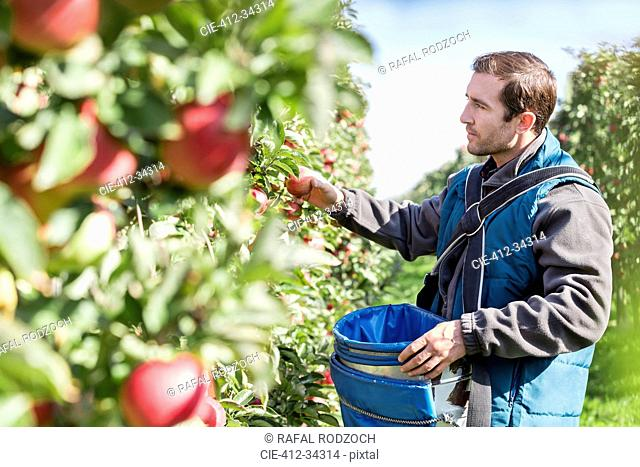 Male farmer harvesting apples in sunny orchard