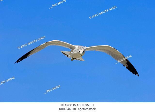 Ring-billed Gull, Sanibel Island, Florida, USA / Larus delawarensis