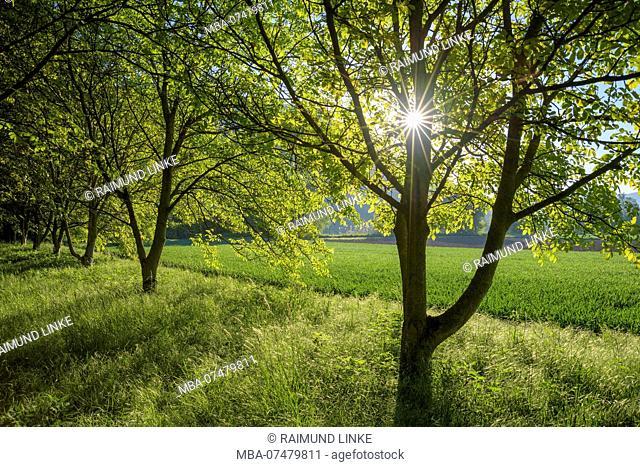 Walnut tree with sun in spring, Kleinheubach, Miltenberg, Main River, Miltenberg District, Spessart, Bavaria, Germany