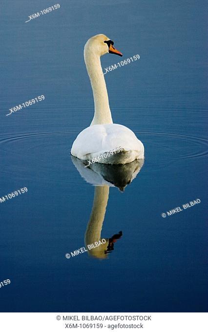 Mute swan Cignus olor