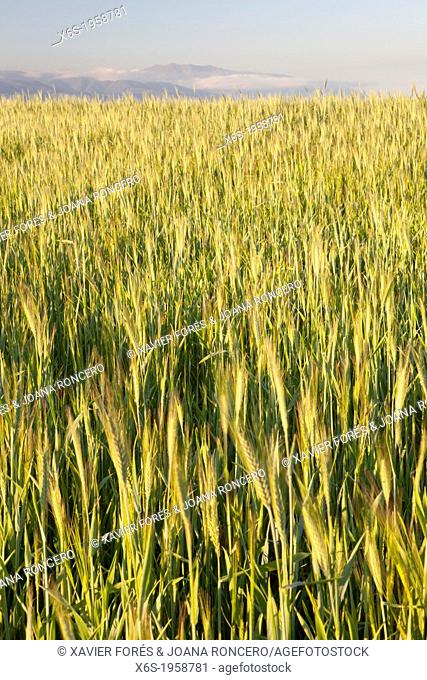 Wheat crops in Natural Park of Els Gallecs, Mollet del Vallés, Barceona, Spain
