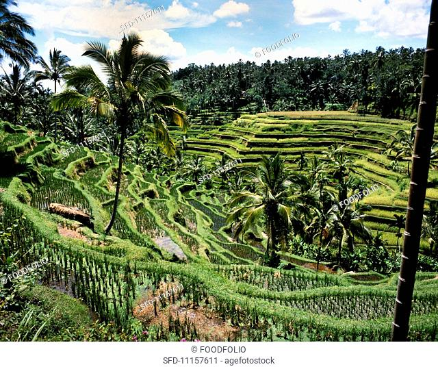 Rice terraces in Bali (Indonesia)