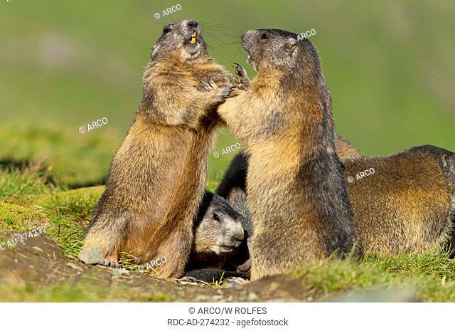 Alpine Marmots, Upper Tauern national park, Austria / Marmota marmota