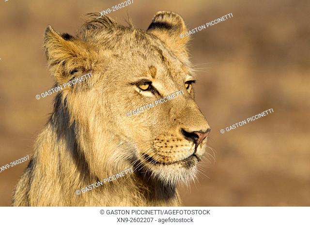 African lion (Panthera leo) - Young male, Kruger National Park, South Africa