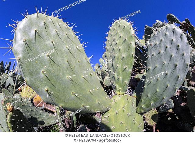 Close up of a prickly pear cactus, Opuntia ficus-indica, showing its pads and spines