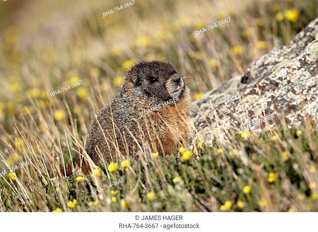 Yellow-bellied marmot yellowbelly marmot Marmota flaviventris amid yellow dryad, Mount Evans, Arapaho-Roosevelt National Forest, Colorado