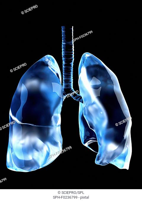 Illustration of the human lungs