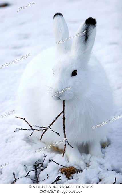 Adult Arctic Hare (Lepus arcticus) chewing on willow branch near Churchill, Manitoba, Canada