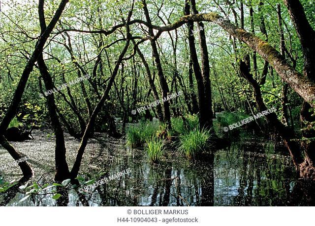 Mollens, Switzerland, canton Waadt, Grand Marais, Les Monod, forest, wood, alder swamp, alder, black alder, Alnus glutinosa, Alnetum, bog forest, carr