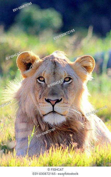 A male lion portrait. Golden sunlight ignite his intense eyes. This close up wildlife photo was taken on safari in Africa