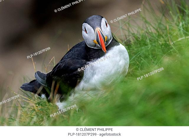 Atlantic puffin (Fratercula arctica) in breeding plumage on sea cliff top in seabird colony, Hermaness, Unst, Shetland Islands, Scotland, UK
