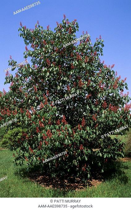 Red Buckeye Tree (Aesculus pavia) in Flower, Colonial Park, NJ
