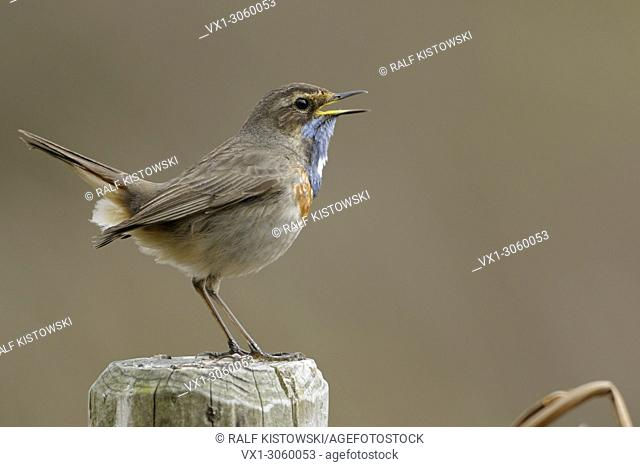 Bluethroat (Luscinia svecica) singing its song, perched on a fence post in front of a clean background, wildlife, Germany, Europe