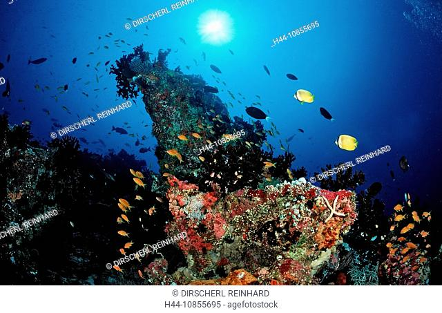 10855695, Maldives, Indian Ocean, Meemu Atoll, fis