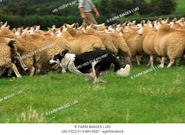 Collie dog rounding sheep up. (Photo by: Wayne Hutchinson/Farm Images/UIG)