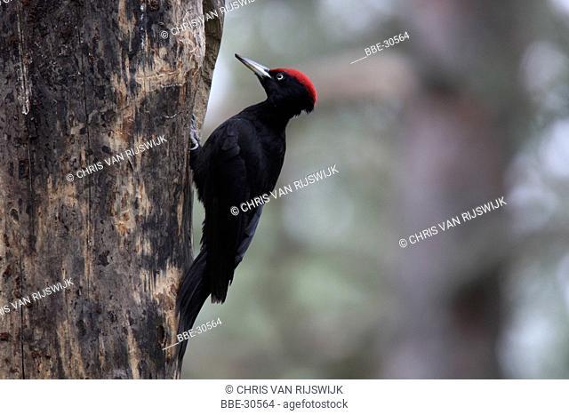 Male Black Woodpecker (Dryocopus martius) on tree trunk