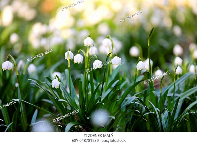 Lots of white spring-flowering flowers of spring snowflake (Leucojum vernum) in springtime forest. Jechovec, Czech Republic
