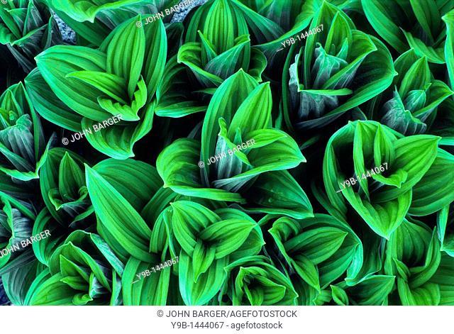 False Hellebore Veratrum viride in spring, near Cascade Pass, North Cascades National Park, northern Washington, USA