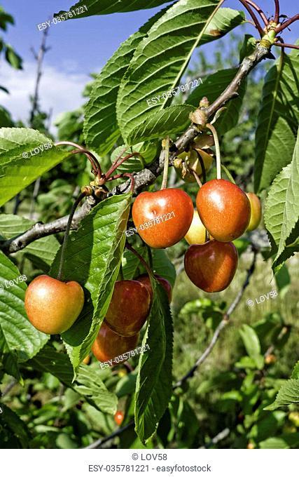Cherries who grow at hot sun of Puglia land