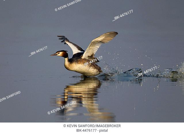 Great crested grebe (Podiceps cristatus) running on a lake, Norfolk, England, United Kingdom