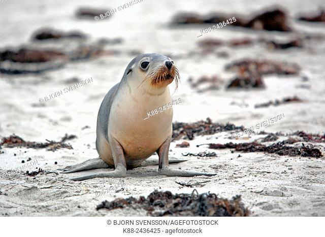 Australian Sea Lion pup (Neophoca cinerea). Seal Bay Conservation Park, Kangaroo Island, South Australia