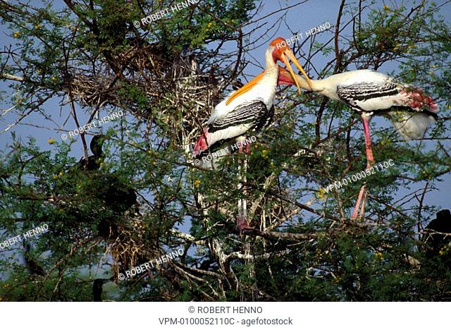 MYCTERIA LEUCOCEPHALUS - IBIS LEUCOCEPHALUSPAINTED STORK - PAINTED WOOD-STORKPAIR CLOSE TO NESTBHARATPUR NP - INDIANEAR THREATENED