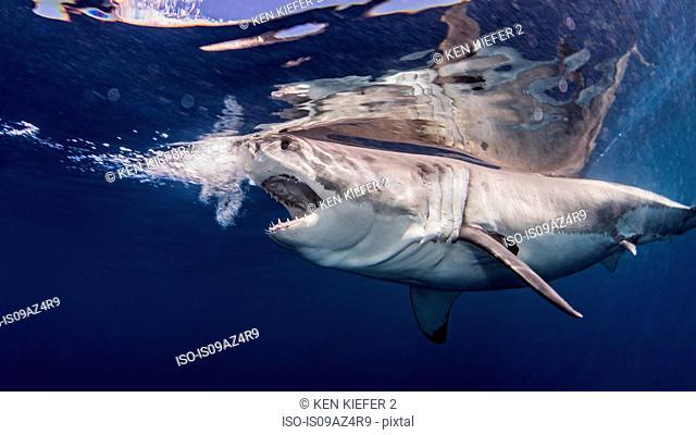 Great white shark near water surface