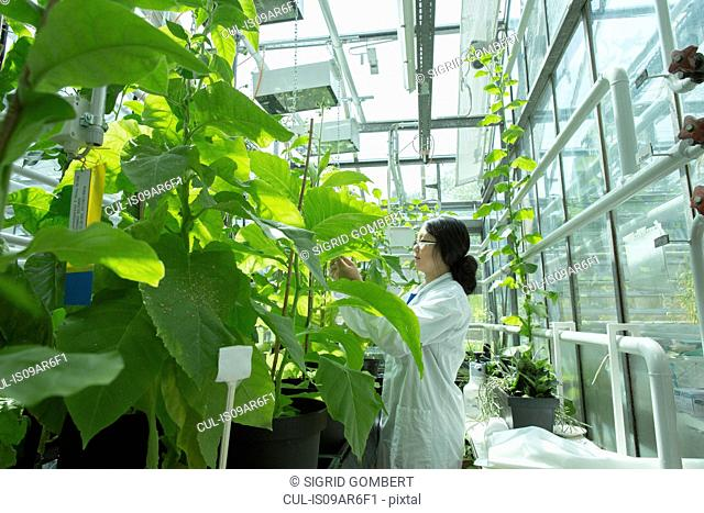Female scientist testing plant sample in greenhouse lab
