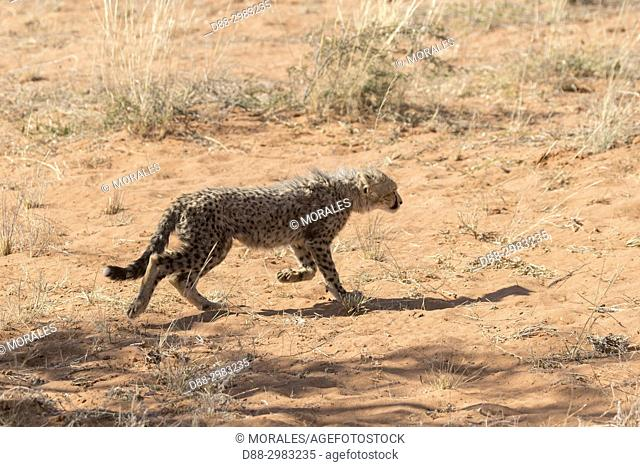 Africa, Southern Africa, South African Republic, Kalahari Desert, Cheetah (Acinonyx jubatus), baby