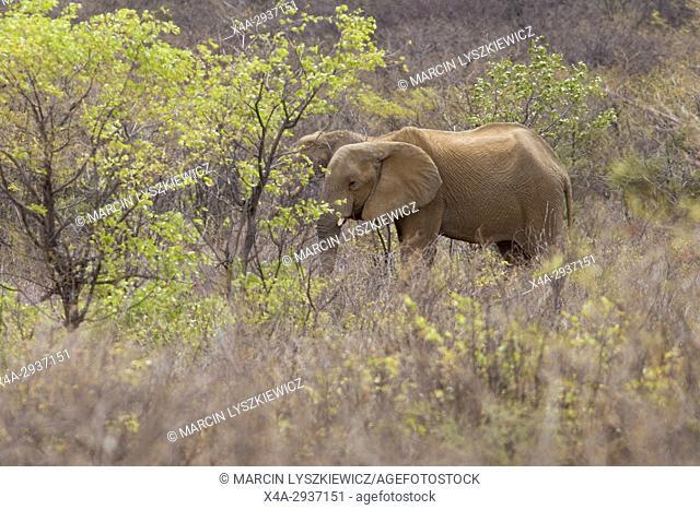 Two African elephants (Loxodonta africana) in a bush, Etosha National Park, Namibia