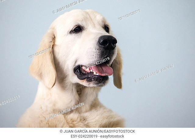 Golden Retriever dog portrait standing over the paws