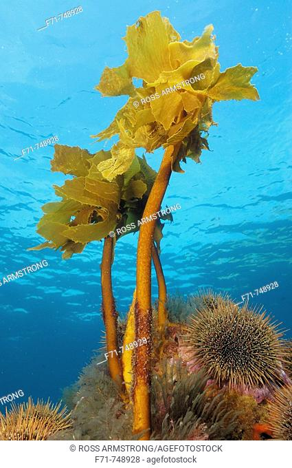 Ecklonia kelp (Ecklonia radiata). Poor Knights Islands. New Zealand. South Pacific Ocean