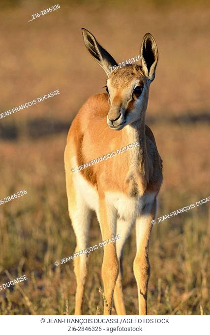 Young springbok (Antidorcas marsupialis), standing in the meadow, alert, early morning, Kgalagadi Transfrontier Park, Northern Cape, South Africa, Africa