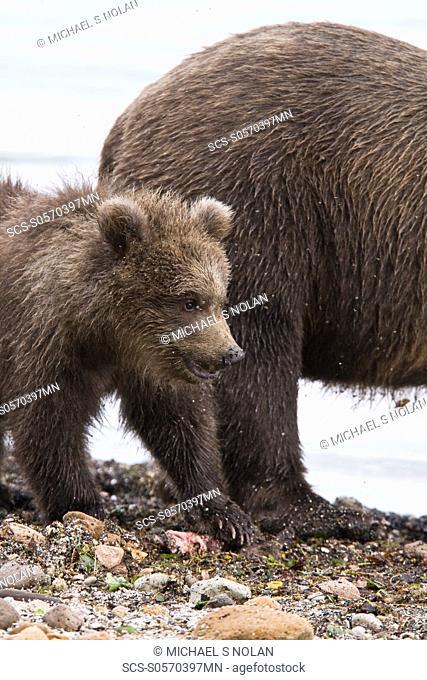 Mother brown bear Ursus arctos with cub-of-year COY at the Brooks River in Katmai National Park near Bristol Bay, Alaska