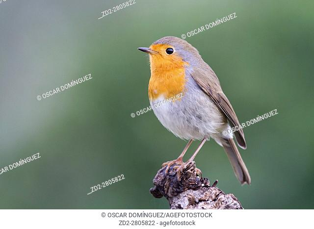 European Robin (Erithacus rubecula) perched on branch. Albufera Natural Park. Valencian Community. Spain