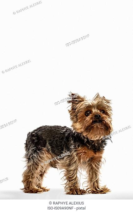Yorkshire terrier teacup dog looking up against white background